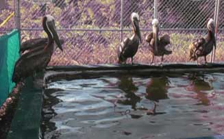 pelicans-gulf-of-mexico-oil-spill-2010-june